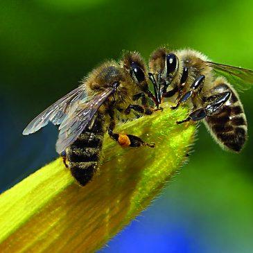 Samedi 28 octobre 2017 Café écolo «L'histoire des abeilles»